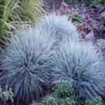 100Pcs Perennial Blue Festuca Grass Seeds Home Garden Drought Tolerant Ornamental Grass Seeds Festuca Glauca